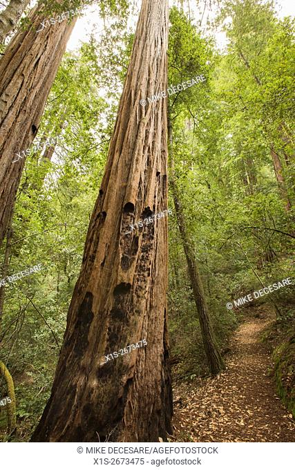 Towering Redwoods line the Blooms Creek trail through a Redwood forest in Southern California