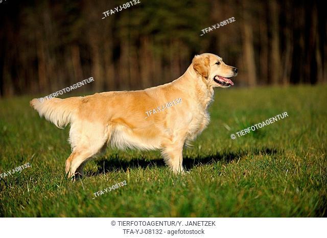standing Golden Retriever