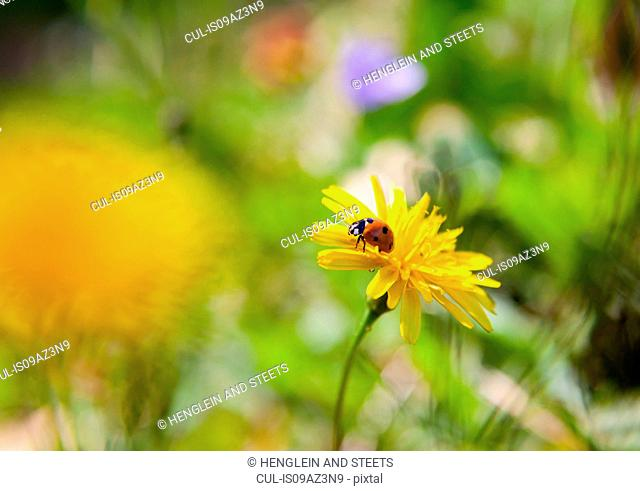 Close up of ladybird on dandelion flower
