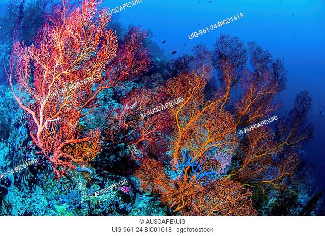 Coral reef with sea fans, Indonesia
