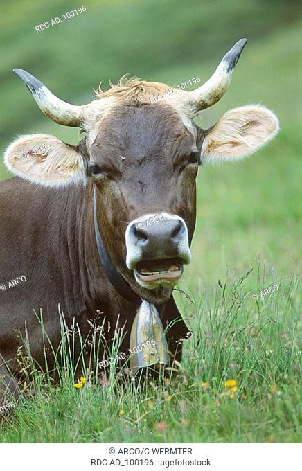 Brown Swiss Cow with cowbell Val de Fein Engadin Switzerland Braune Schweizer Kuh mit Kuhglocke Val de Fein Engadin Schweiz Kuehe Kühe
