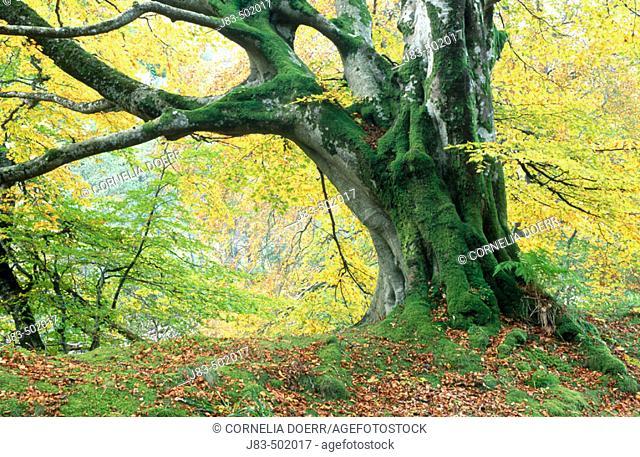 Old beech tree in autumn. Tayside, Scotland, UK