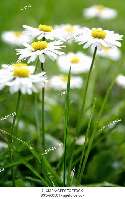 Daisies in grass, Bellis perennis