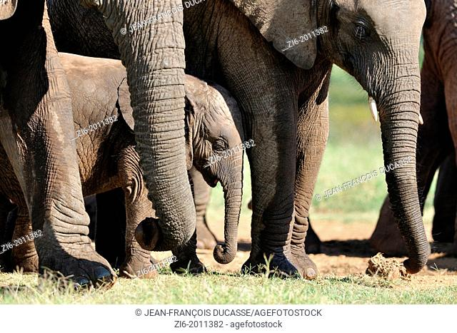 African elephants, mother, calf and baby at the water hole, Addo Elephant National Park, Eastern Cape, South Africa