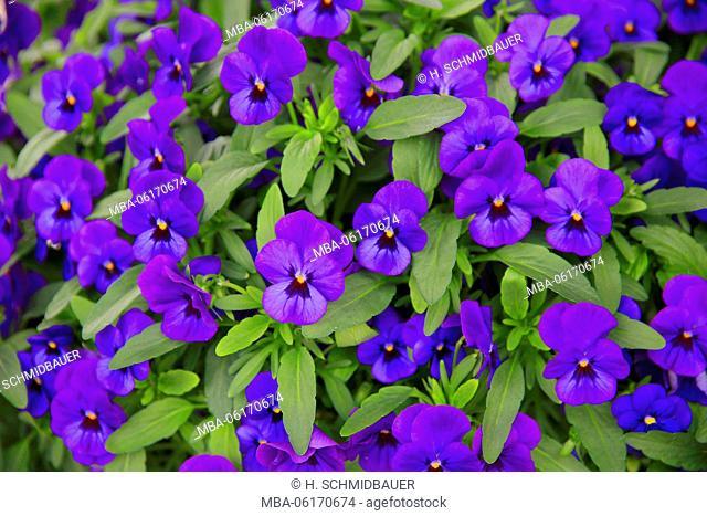 Blue pansies, garden plant