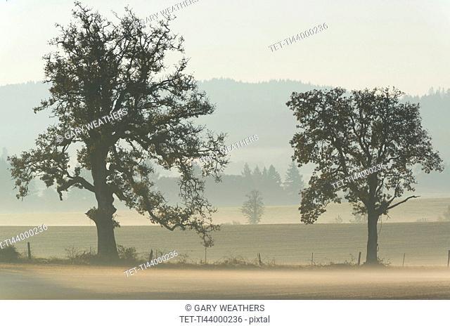 Oak trees on foggy day