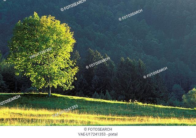 forest, calf, evening light, dornbirn, calm, glowing, austria