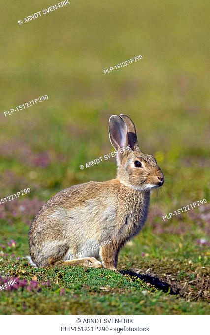 Young European rabbit / common rabbit (Oryctolagus cuniculus) sitting in meadow