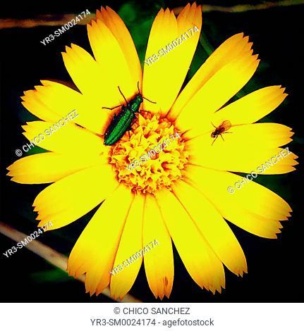 A green bug perches on a yellow flower in Prado del Rey, Sierra de Cadiz, Andalusia, Spain