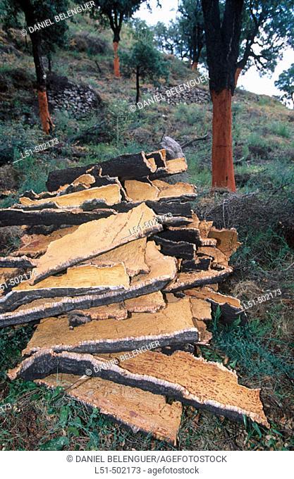 Oak cork. Sierra de Espadán. Castellon. Spain