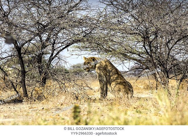 Lion (Panthera leo) sitting in shade of trees at Onkolo Hide, Onguma Game Reserve, Namibia, Africa
