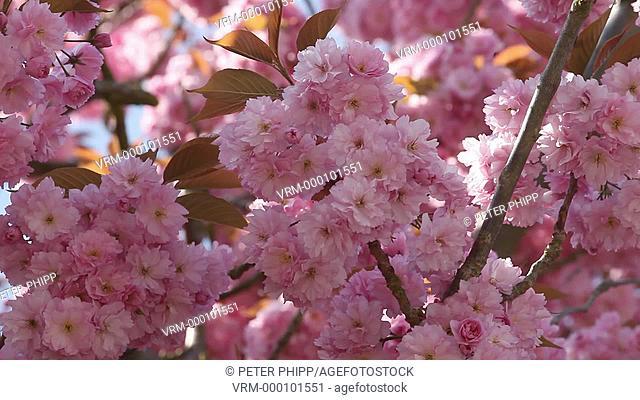Springtime Blossom