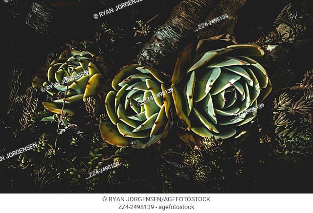 Dark creative photo on three Australian Succulent Plants resembling flowering cactuses in the cold night of a Tasmanian winter. In dark bloom
