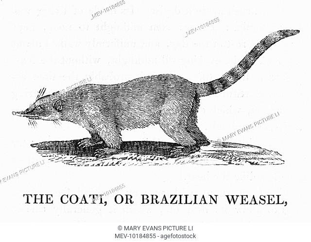 Viverra nasua also known as the Brazilian Weasel, or coati-mundi : Linnaeus kept one but failed to tame it - it killed his poultry, sucked their blood