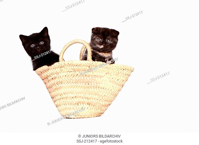Scottish Fold and British Shorthair. Two kittens (6 weeks old) in a shopping bag. Studio picture against a white background. Germany