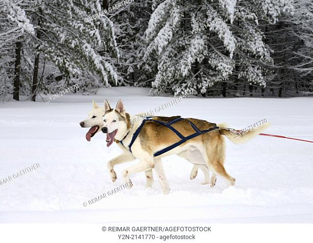 Synchronized panting pair of lead Seppala Siberian Sleddogs pulling a dog sled in a winter race