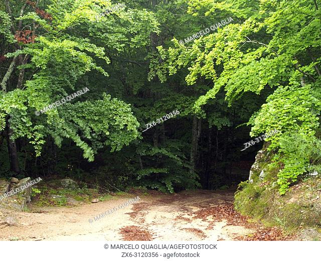 Beech forest (Fagus sylvatica) and dirt road at La Nespla site, Arbucies village countryside. Spring time at Montseny Natural Park