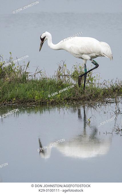 Whooping crane (Grus Americana), Aransas NWR, Texas, USA