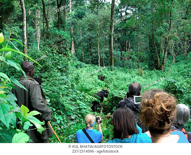 After trekking for several hours, tourists encounter a family of Mountain Gorillas, Uganda