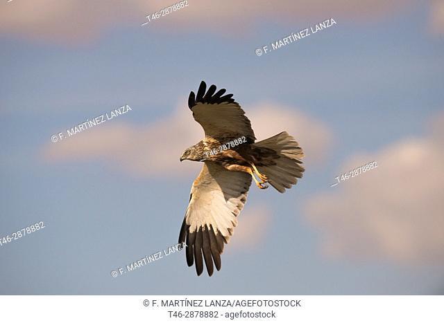 Western Marsh Harrier (Circus aeruginosus). Photographed in the laguna de la mancha in Toledo