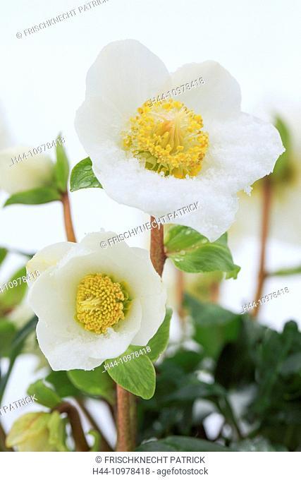 Flower, blossom, flourish, Christmas rose, detail, Fresh, Helleborus niger, cold, macro, close-up, nature, plant, snow, winter rose, winter, blossom, Fresh