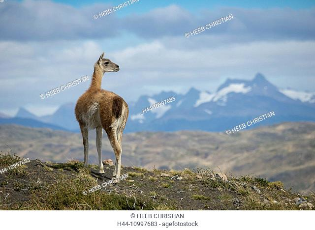 South America, Patagonia, Chile, Torres del Paine, National Park, UNESCO, World Heritage, Lama guanicoe, Guanaco