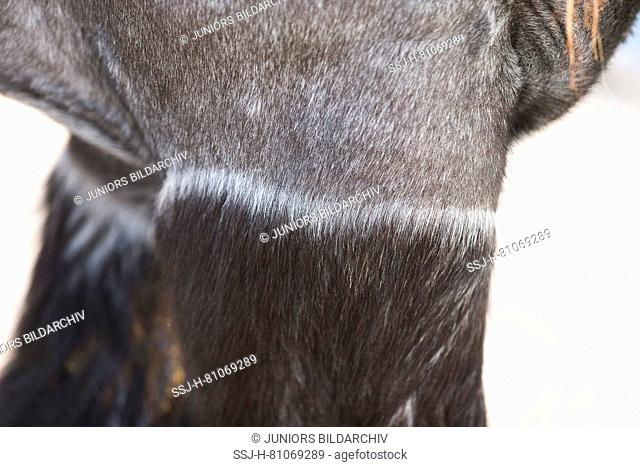 Ardennes Horse. Close-up of clipped adult. Abu Dhabi