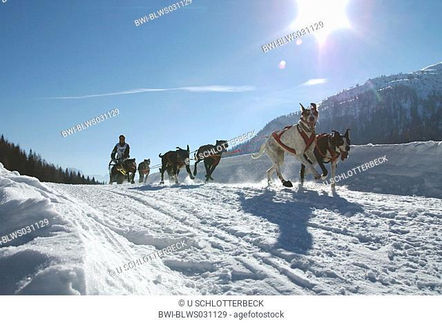 Alaskan Huskie Canis lupus f. familiaris, Alpentrail 2005, Italy, Suedtirol, Monsanto, Sesto