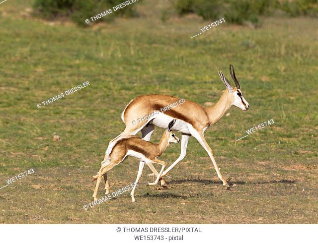 Springbok (Antidorcas marsupialis). Ewe with newly born lamb. During the rainy season in green surroundings. Kalahari Desert, Kgalagadi Transfrontier Park