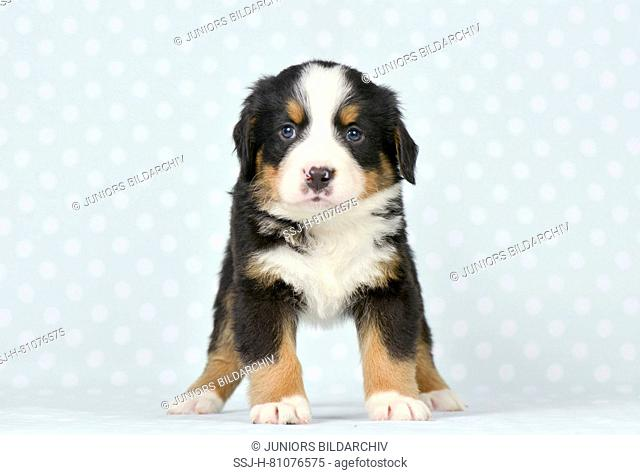 Bernese Mountain Dog. Puppy (5 weeks old) standing, seen head-on. Studio picture. Germany