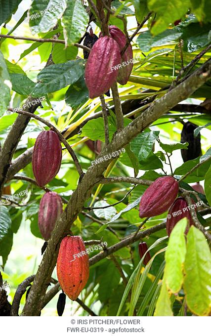 West Indies, Windward Islands, Grenada, Unripe purple and ripening orange cocoa pods growing from the branch of a cocoa tree