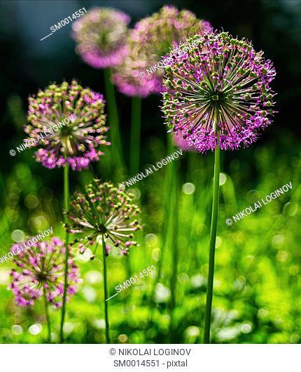Vertical vivid vibrant purple flower bokeh background backdrop
