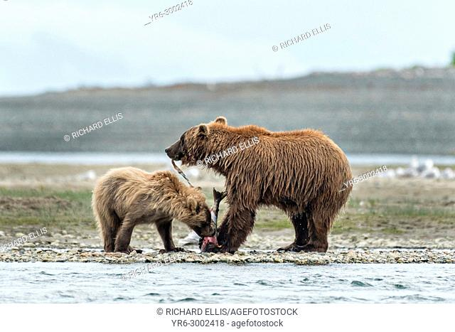A Brown bear mother shares her salmon with her yearling cub along the lower lagoon at the McNeil River State Game Sanctuary on the Kenai Peninsula, Alaska