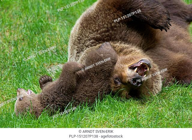 Brown bear (Ursus arctos) mother playing with cub in grassland