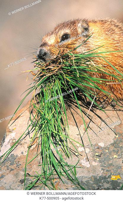 Yellow bellied marmot. Rock chuck with grass as store for hibernation (Marmota flaviventris). Yellowstone N.P. Wyoming. USA