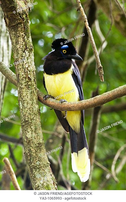 Argentina, Salta, Parque Nacional Calilegua  Plush crested Jay Cyanocorax chrysops resting on a tree in the National Park