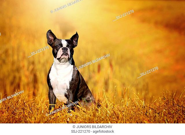 Boston Terrier. Adult dog sitting on a stubble field in evening light. Germany