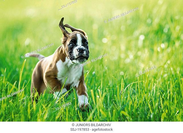 Boxer. Puppy running on a meadow. Germany