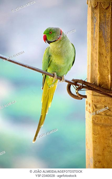 Parakeet resting at a wire attached to ond of the columns of Bundi Palace