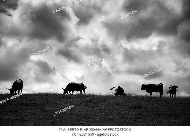 Cows grazing along the coast of Llanes. Asturias. Spain