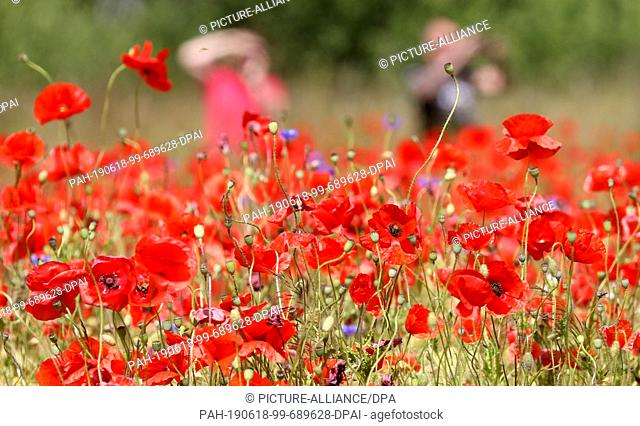17 June 2019, Mecklenburg-Western Pomerania, Bad Doberan: In a field with barley, red poppy also grows, passing motorists photograph the colourful spectacle