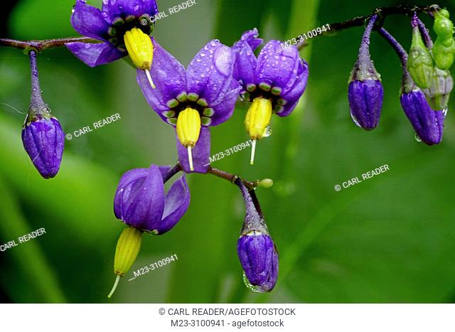 The lovely flowers of nightshade, Atropa Belladonna, belie their poisonous nature, Pennsylvania, USA