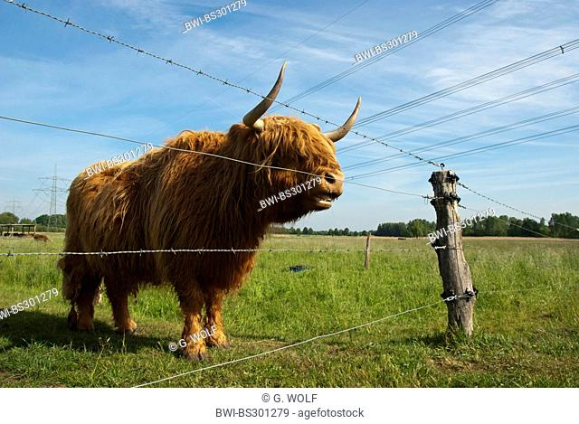 Scottish Highland Cattle (Bos primigenius f. taurus), standing in a meadow at a barbed wire, Germany