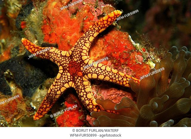 Mesh Sea Star, Fromia spec., Alor, Lesser Sunda Islands, Indo-Pacific, Indonesia