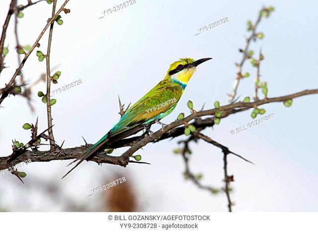Swallow-tailed Bee-eater (Merops hirundineus) - Mushara Outpost - near Etosha National Park, Namibia, Africa