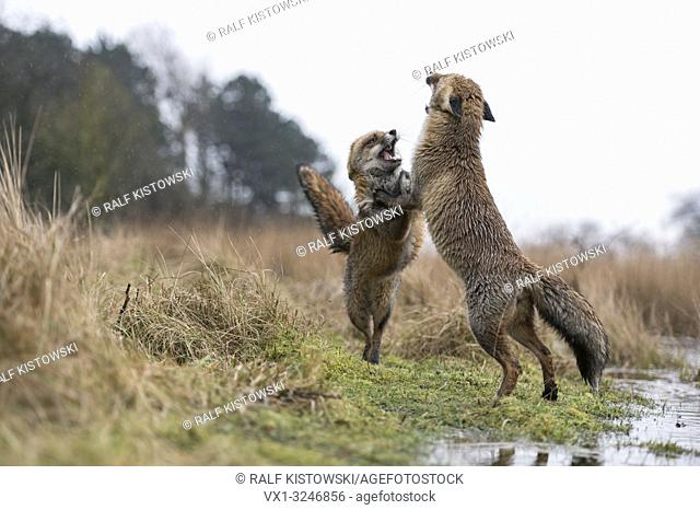 European Red Foxes / Rotfuechse ( Vulpes vulpes ) in hard fight, standing on hind legs, spectacular low point of view, in their habitat
