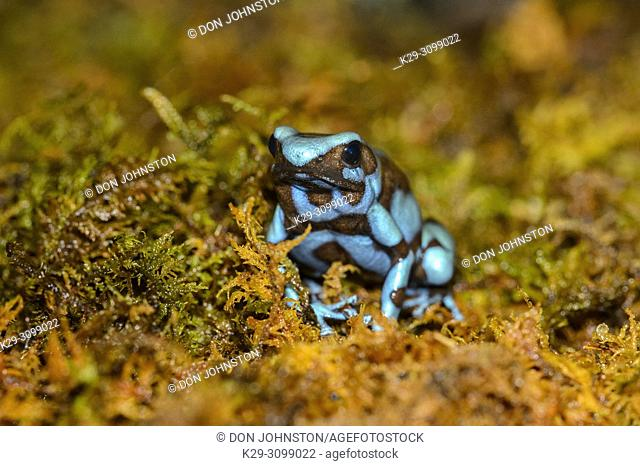 Blue Black Dart Frog (Dendrobates auratus) Captive. Native to Central America, Reptilia reptile zoo, Vaughan, Ontario, Canada