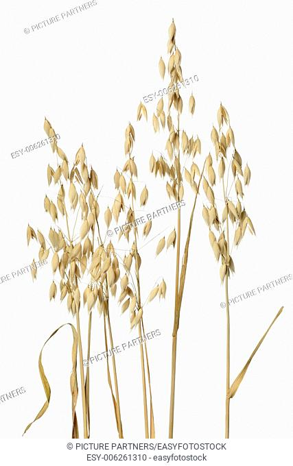 Dried oat ears on white background