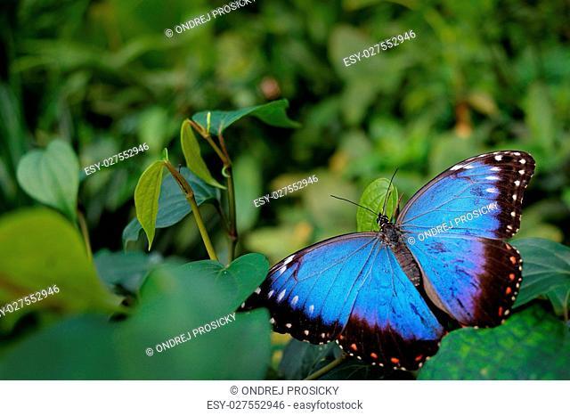 Blue butterfly. Blue Morpho