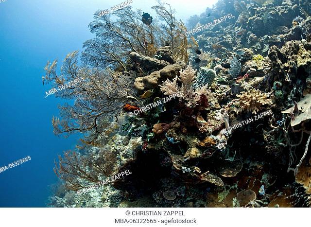 Coral reef in front of Menjangan, sea fan, Mopsella sp, Bali, Asia